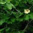 ホオノキの大きな花