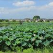 城沼(じょうぬま)夏景