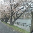 雨の一日 桜もしっとりと!!