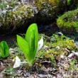 大分県 白水湿生花園の 「水芭蕉」が 見ごろでした(2019年3月22日)