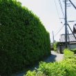 鯉のぼりが泳ぐ青柳町には美しい生け垣の道があります