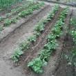 ジャガイモ(メークイン・男爵)の芽欠きと追肥・土寄せ