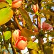 花梨の花々