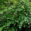 樹木ウォッチング冬から夏へ402セッコウボク1