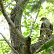 無事に育ってほしいよ、小さな鷹ツミ。