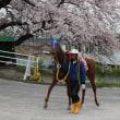 2016笠松競馬の馬と桜と。