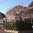 しだれ桜が綺麗に!