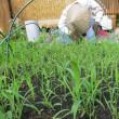 【今年は庭で稲作】 /  お田植えしました。