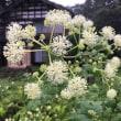 独活(ウド)の花