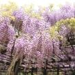 白井大町藤公園-兵庫県北部朝来市