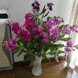 綺麗なストックの花買いました。(2018年2月22日撮影)