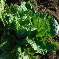 白菜、タイニーシュシュの収穫。