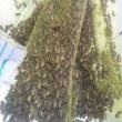 日本蜜蜂の分蜂群🎵