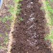 にんじん栽培、裸種の陽明五寸の間引き、条間に施肥した