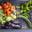 今日の収穫 トマト オクラ ナス キャベツ トウガラシ類 シロウリ ミョウガ