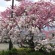 山梨 桃の花が満開でした (釈迦堂遺跡博物館ほか)