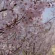 早くも見頃。花見山桃源郷展望コース(2018.4.1)その2