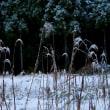 冬の薄と葦