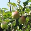 リンゴの実がつきました