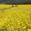 黄色いじゅうたん、菜の花満開