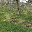 イノシシ?がりんご畑を荒らしています