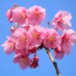 荏原神社の寒緋桜 2