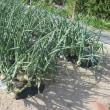玉ネギ 収穫