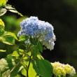 Vol.2058   日南ではアジサイが咲きはじめましたよ。 (Photo No.14336)