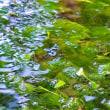 【湯沢に咲く花】清らな水の流れるところに咲く、梅花藻(ばいかも)。