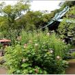 海蔵寺の萩、紫苑、彼岸花、芙蓉