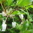 植物の漢字 満天星