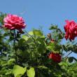 薔薇の事情