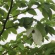 ハンカチの樹