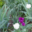 ご近所のチューリップの花