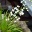 シュウメイギクが咲き始めました  庭の花1