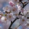 高尾さくら公園で咲く「ベニヤマザクラ」(その1) !!