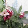 多肉植物・ジンチョウゲ(沈丁花)