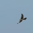 広い草地では、チョウゲンボウが羽ばたいていた。