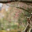 寒紅梅がわずかに開花:半田山植物園