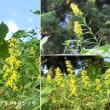 秋の麒麟草の花は