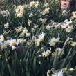 エンドウは春に植え直そう