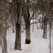 ブナ 古木の森へ