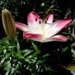 スカシユリのお花