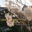 夕方の桜桃