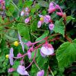 秋海棠(しゅうかいどう)という花