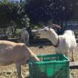 2018-11-18 トイトイファーム温川牧場
