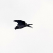 1/16探鳥記録写真-2(響灘ギオトープの鳥たち:オオジュリン、ジョウビタキ♂、チュウヒの飛翔ほか)