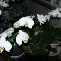 胡蝶蘭満開  Phalaenopsis orchid