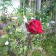 もう少しで開花では バラの熱情