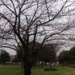 桜開花 180320